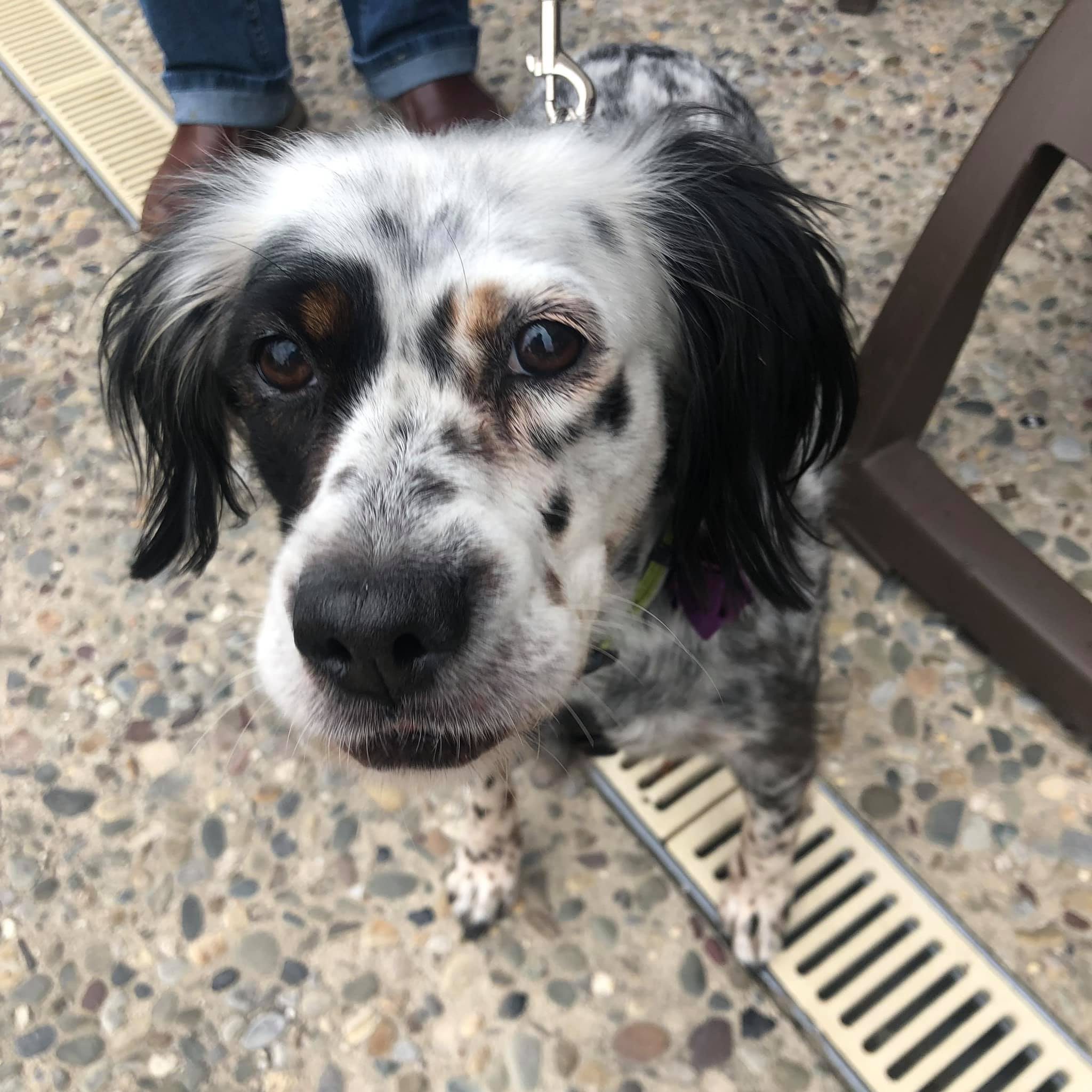 Spotted spaniel mix looking at camera
