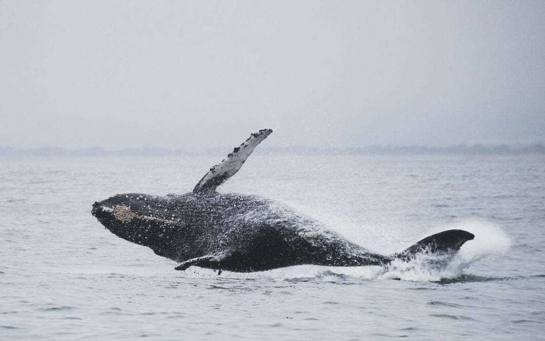 whale in cape may water