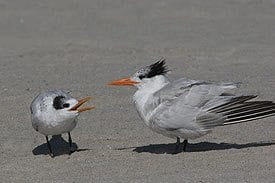 Cape May Nature- two small birds on beach.